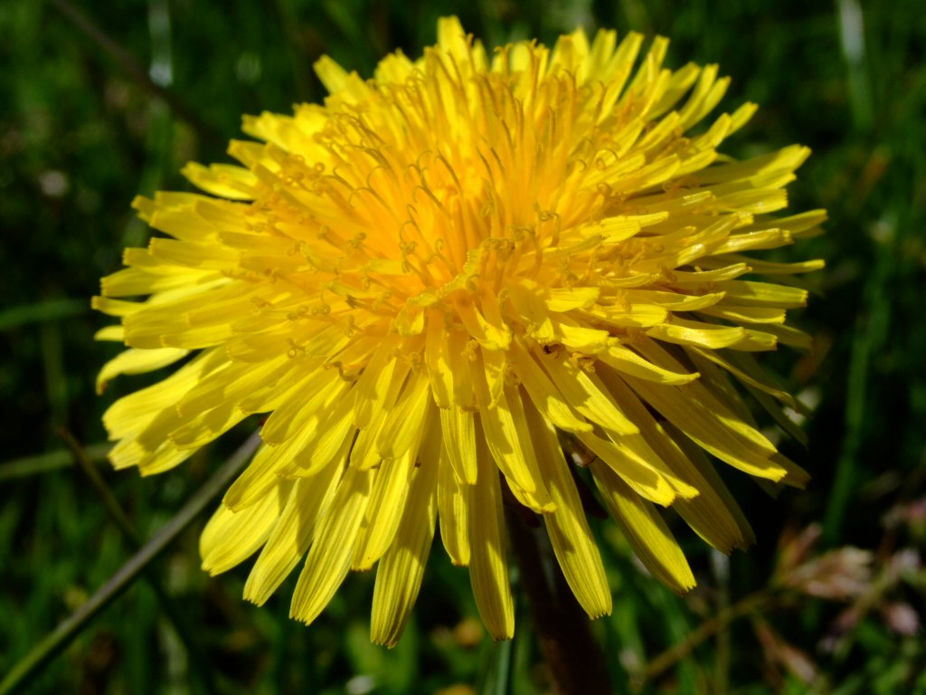 You Make Your Own Wine and Mead Dandelion Day